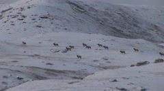 Elk Male Herd Winter Snow Stock Footage