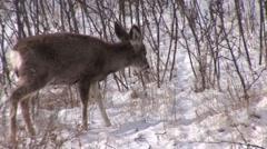 Mule Deer Young Feeding Winter Snow - stock footage
