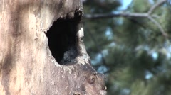 Black-capped Chickadee Winter Stock Footage