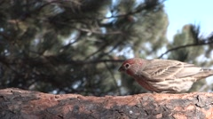 House Finch Feeding Winter Stock Footage