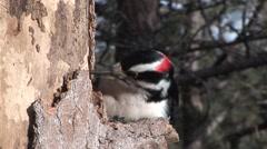 Hairy Woodpecker Male Adult Lone Feeding Winter Stock Footage
