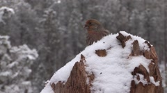 House Finch Lone Winter Snow Stock Footage