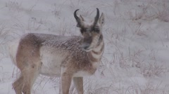 Pronghorn Antelope Buck Adult Lone Winter Snow - stock footage