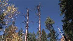 Ponderosa Pine Dead Snag Stock Footage