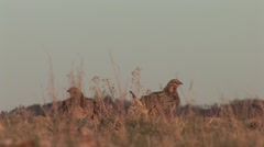 Sharp-tailed Grouse Spring Dawn Stock Footage