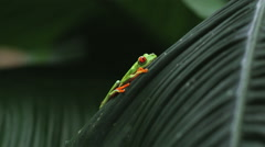 Red Eyed Tree Frog on a palm frond Stock Footage