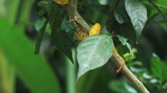 Yellow eyelash pit viper in a tree branch Stock Footage