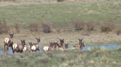 Elk Herd Spring Stock Footage