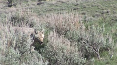 Coyote Lone Hunting Spring Stock Footage