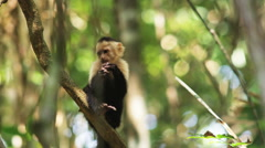 Capuchin monkey in a tree Stock Footage