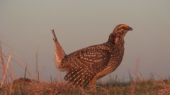 Sharp-tailed Grouse Male Adult Breeding Spring Dawn Lek Dancing Strutting Ground Stock Footage