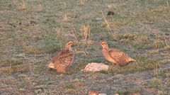 Sharp-tailed Grouse Male Adult Breeding Spring Dawn Lek Dancing Strutting Stock Footage