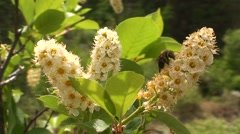 Chokecherry Spring Blossums Flower Stock Footage