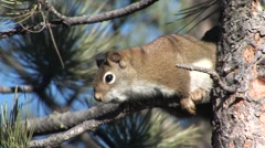 Red Squirrel Lone Stock Footage