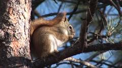 Red Squirrel Lone Feeding Stock Footage