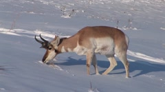 Pronghorn Antelope Buck Lone Feeding Winter Dusk - stock footage