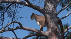 Mountain Lion Adult Lone Standing Summer Stock Footage