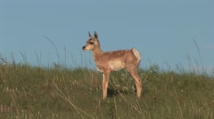 Pronghorn Antelope Young Lone Standing Spring - stock footage