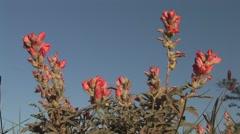 Scarlet Globemallow Spring Stock Footage