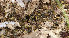 Destroyed wasp nest  4 Stock Footage