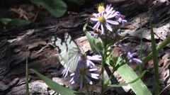 Butterfly Black Hills Summer Aster Butterfly Stock Footage