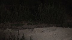 Badger Lone Digging Summer Night Spotlight Spotlight Stock Footage