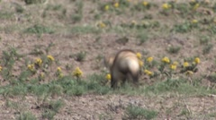 Black-footed Ferret Lone Running Summer Stock Footage