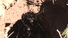 Black-widow Spider Female Lone Summer Burrow Web Stock Footage