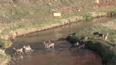 White-tailed Deer Herd Walking Summer Dawn Belle Fourche River Crossing Zoom Out Stock Footage