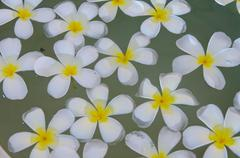 Frangipani flower floating in water Stock Photos