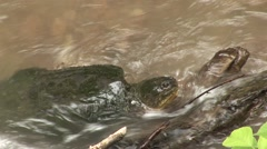 Snapping Turtle Adult Lone Resting Summer Water Stock Footage