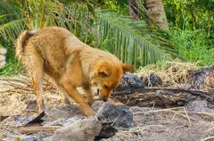 dogs dig for the remains of  the coconut that was on fire. - stock photo
