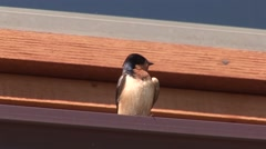 Cliff Swallow Adult Lone Resting Summer Stock Footage