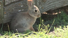 Cottontail Rabbit Adult Grooming Summer Fort Union Trading Post Nhs - stock footage