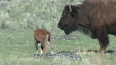 Bison Cow Adult Calf Pair Nursing Spring - stock footage