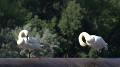 Tundra Swan Male Female Adult Pair Grooming Summer Stock Footage