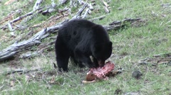 Stock Video Footage of Black Bear Adult Lone Feeding Spring Kill Mortality Predation Carrion