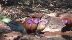 Songbird Madikwe Game Reserve Drinking Winter Birds Songbirds Water Stock Footage