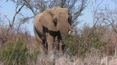 African Elephant Bull Adult Lone Feeding Winter Stock Footage