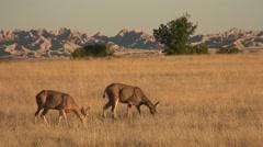 Mule Deer Pair Feeding Summer Stock Footage
