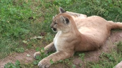 Mountain Lion Lone Resting Summer Stock Footage