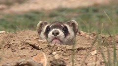 Black-footed Ferret Lone Alarmed Fall Closeup Stock Footage