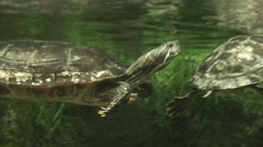 Painted Turtle Swimming Stock Footage