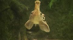 Long-nosed Gar Lone Swimming Underwater Stock Footage
