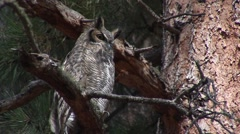 Great Horned Owl Lone Resting Summer Stock Footage