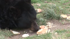 Black Bear Adult Lone Feeding Garbage Bread - stock footage