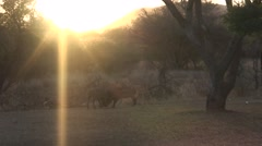Warthog Winter Sunset Sun Flare Stock Footage