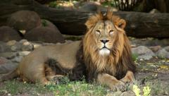 Eye contact with a lion, full size view, lying on the tree shadow background - stock footage