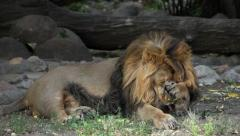 A calm Asian lion, full size view, washing himself and prinking. Stock Footage