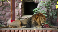An Asian lion, full size view, lying on the wood platform Stock Footage